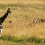 Giraffe with Eland and Egrit